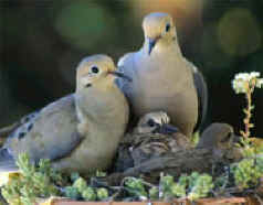 A nesting family of doves
